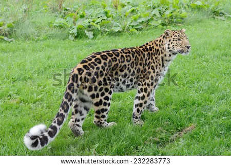Full length leopard looking alert with spots on fur