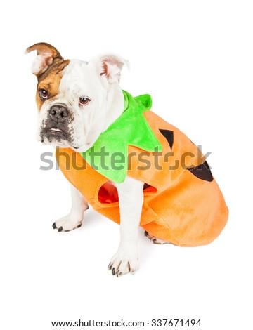 Full length of Bulldog dressed as Halloween pumpkin over white background - stock photo