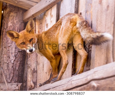 Full length portrait of a man posing Red Fox in the zoo enclosure. Beautiful forest wild animal. Smart look dodgy Vulpine. Eye to eye with one of the grace of the forest and steppe inhabitants.