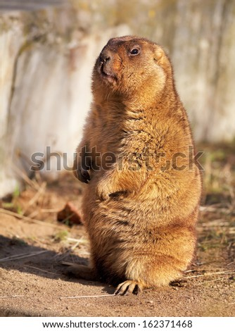 Full length portrait of a Marmot (bobac), posing in a sunny day. Prairie dog is looking at you.  - stock photo