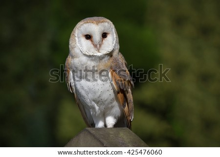 full length portrait of a solitary barn owl on a gravestone looking to right against a natural background - stock photo