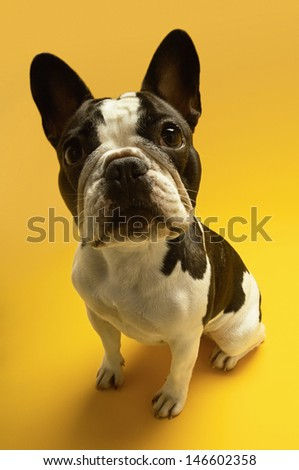 Full length portrait of French bulldog sitting on yellow background - stock photo