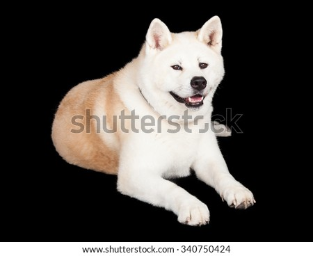 Full length portrait of white and brown Akita lying against black background - stock photo