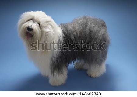 Full length side view of Old English Sheepdog standing on blue background - stock photo
