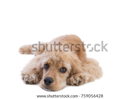 Full length studio shot of a cute golden cocker spaniel dog looking at camera with nostalgia while laying down against white background with copy space