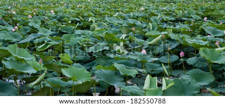 Full lotus pond
