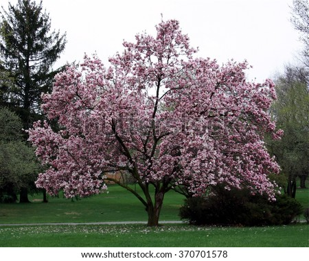 Full magnolia tree in bloom