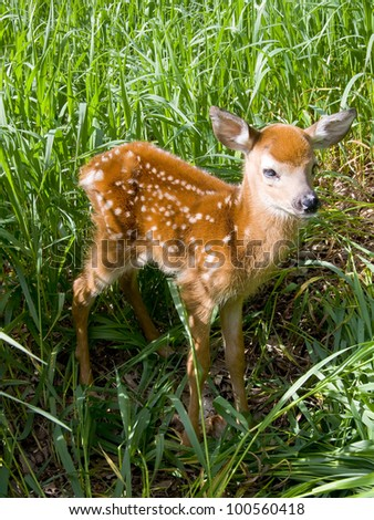 Full Shot of Standing Deer Fawn - stock photo