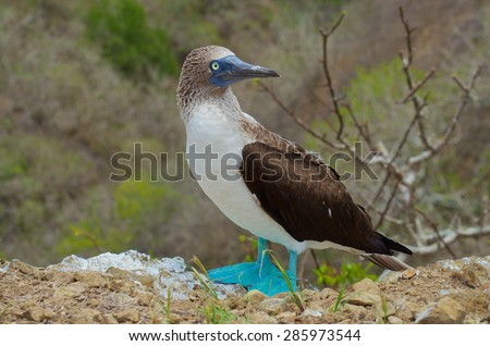 Full side profile of the blue footed Booby - stock photo