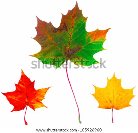 Full-size composite photo of maple autumn leaves isolated on white background