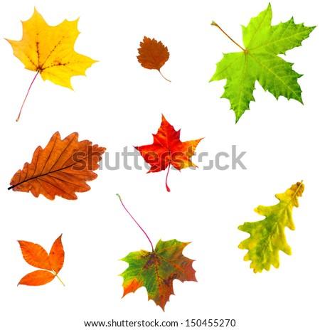 Full-size photo of maple autumn leave isolated on white background - stock photo