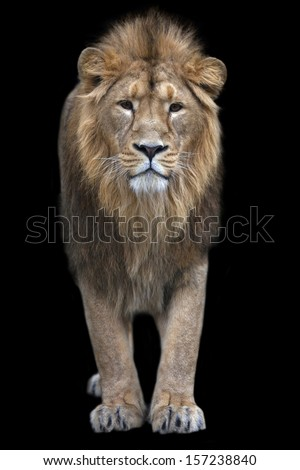 Full-size portrait of a young Asian lion on black background. The King of beasts with splendid mane. Wild beauty of the biggest cat. The most dangerous and mighty predator of the world. - stock photo