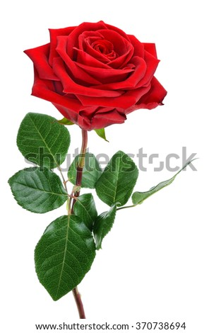 Fully blossomed, perfect red rose with stem and leaves, studio isolated on pure white background - stock photo