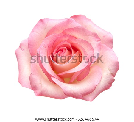 fully open gentle pik rose isolated on white background