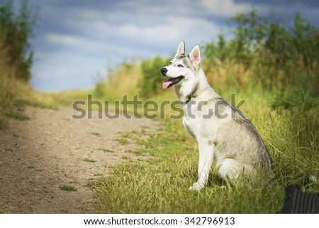 fun and along Siberian Husky Alaskan Malamute dog or puppy in summer road with sky