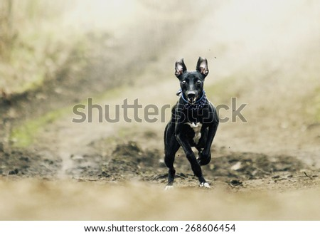 fun and comic black young whippet dog puppy running and jump spring background - stock photo