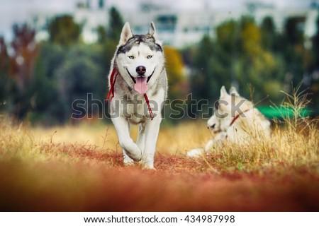 fun beautiful siberian husky dog of wolf or german shepherd puppy running in autumn field - stock photo