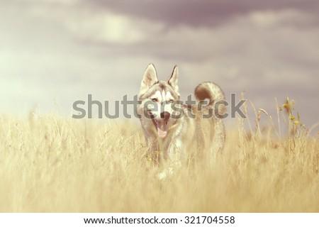 fun beautiful siberian husky dog of wolf or german shepherd puppy running in summer field - stock photo