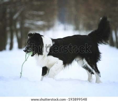 fun border collie dog in snow - stock photo