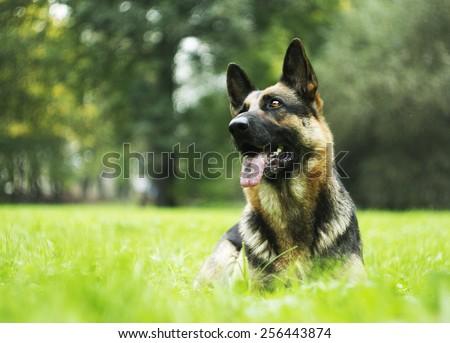 fun german shepherd dog puppy background - stock photo