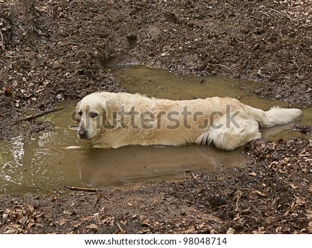 Fun golden retriever dog playing in the mud - stock photo