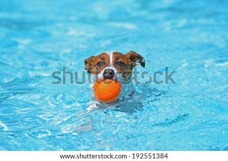 Fun in the pool - Jack Russell Terrier - stock photo