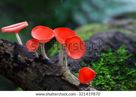 Fungi cup red Mushroom Champagne Cup Found in the rain forests of central Thailand. - stock photo
