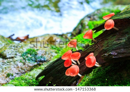 Fungi cup red mushroom cup mushroom or champagne mushrooms thailand
