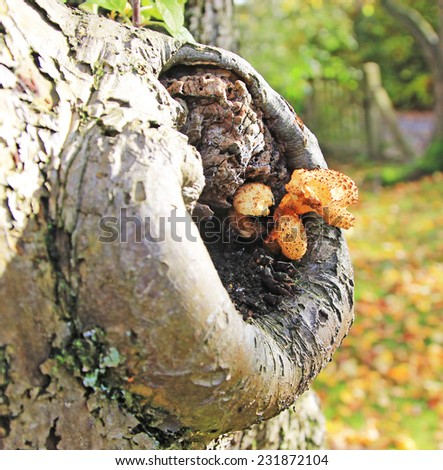 Fungi growing out of the bole of a tree - stock photo