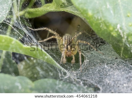 Funnel Weaver Spider waiting in web for prey - stock photo