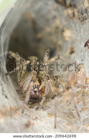 Funnel-web spider, Agelena labyrinthica - stock photo