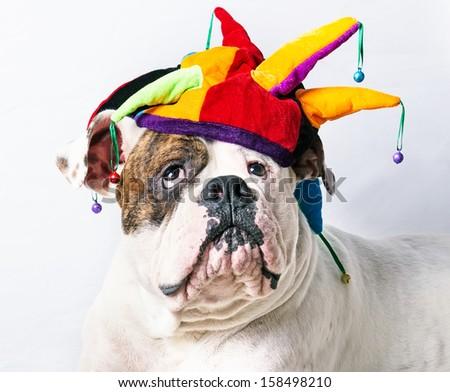 funny american bulldog in a cap - stock photo