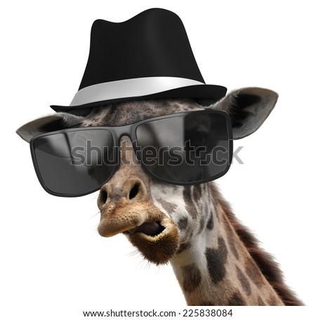 Funny animal portrait of a giraffe detective with shades and a fedora - stock photo