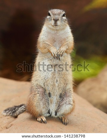 Funny animal portrait of The Prairie Dog (genus Cynomys). It is burrowing rodent native to the grasslands of North America. - stock photo