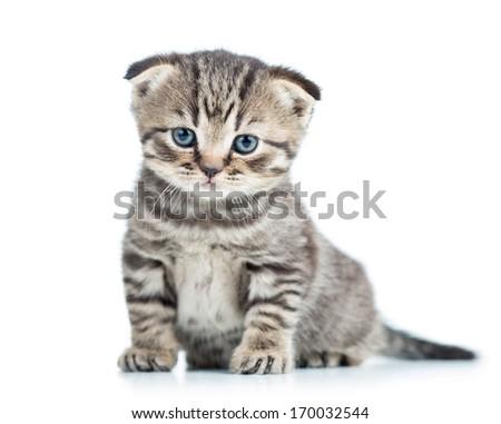 funny baby cat Scottish fold kitten - stock photo