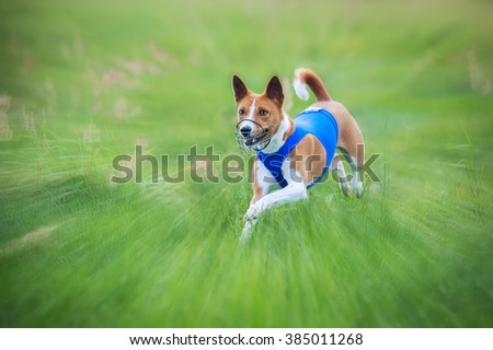 Funny basenji dog running on lure coursing competition - stock photo