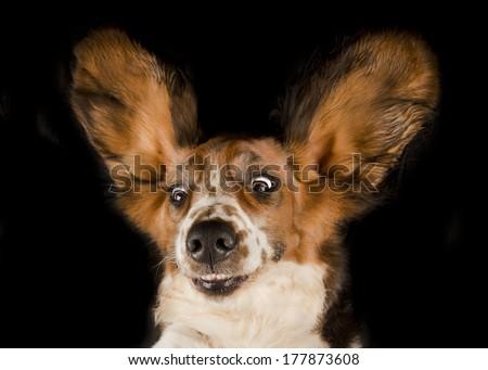 Funny Basset hound - stock photo