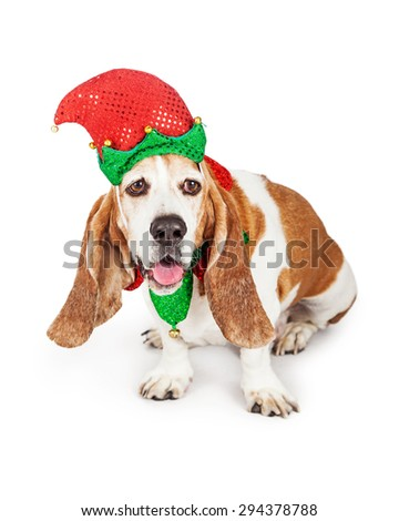 Funny Basset Hound breed dog wearing a red and green Christmas elf costume