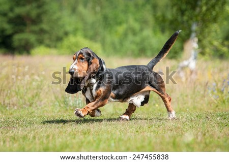 Funny basset hound dog running - stock photo