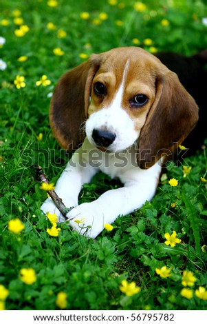 funny beagle puppy in the park - stock photo