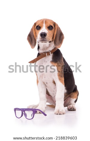 Funny Beagle with glasses