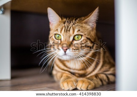 Funny beautiful cute bengal cat hiding under the sofa - stock photo