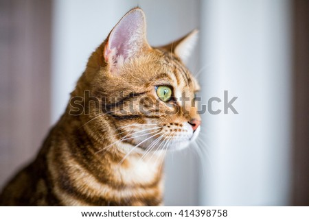 Funny beautiful cute bengal cat looking into the window - stock photo