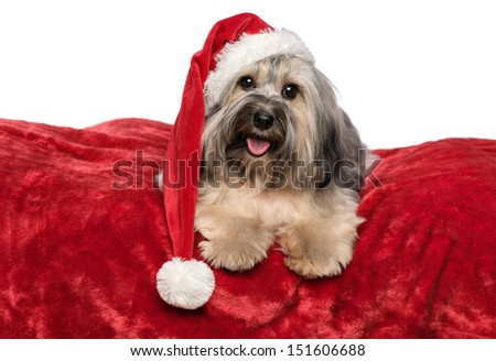 Funny Bichon Havanese dog in a Christmas - Santa hat is lying on a red velvet blanket. Isolated on a white background - stock photo