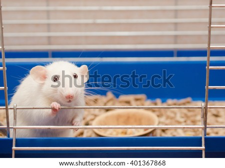 Funny big-eared rat in a cage (selective focus on the rat eyes and ears)