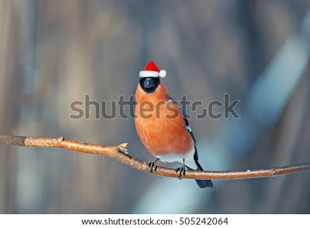 funny bird bullfinch in red Santa hat winter Christmas in the Park