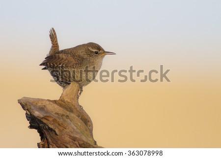 Funny bird Wren  Eurasian Wren / Troglodytes troglodytes - stock photo
