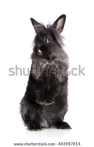 Funny black angora rabbit standing on its hind legs isolated on white