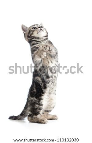 funny black cat kitten standing on hind legs - stock photo