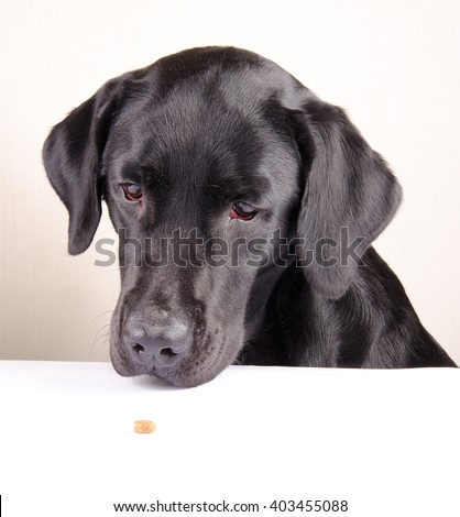 Funny black Labrador Retriever looking at a single piece of dry dog food lying on the table (selective focus on the dog eyes) - stock photo